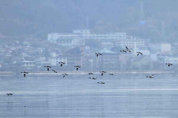カワアイサ_諏訪湖