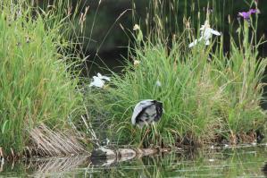 アオサギ_千鹿頭池