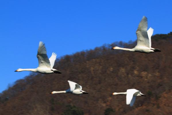 コハクチョウ_ダム湖