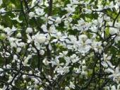 カラタチの花2