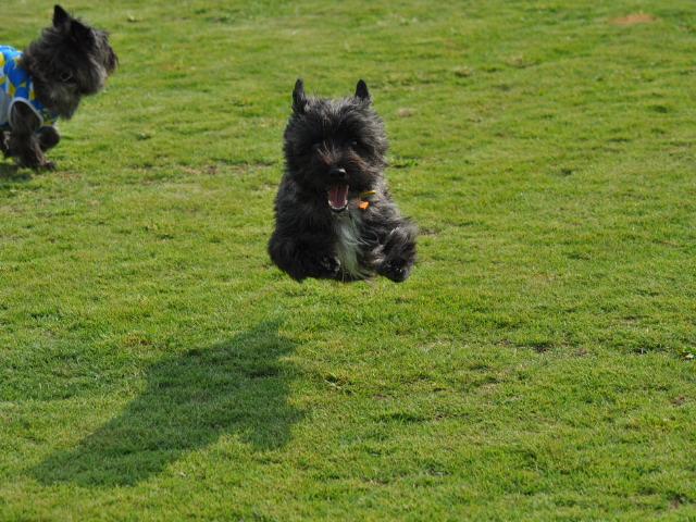 飛行犬チップ