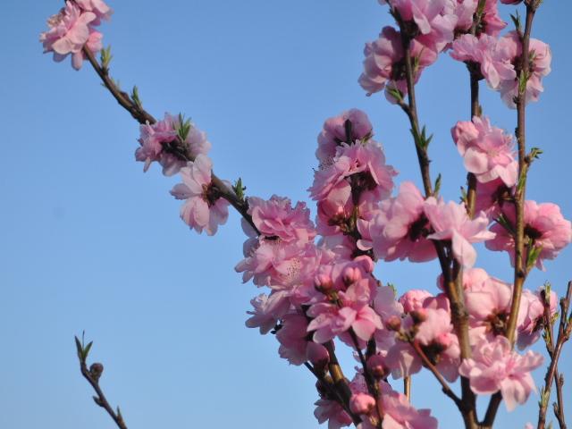 花見散歩6
