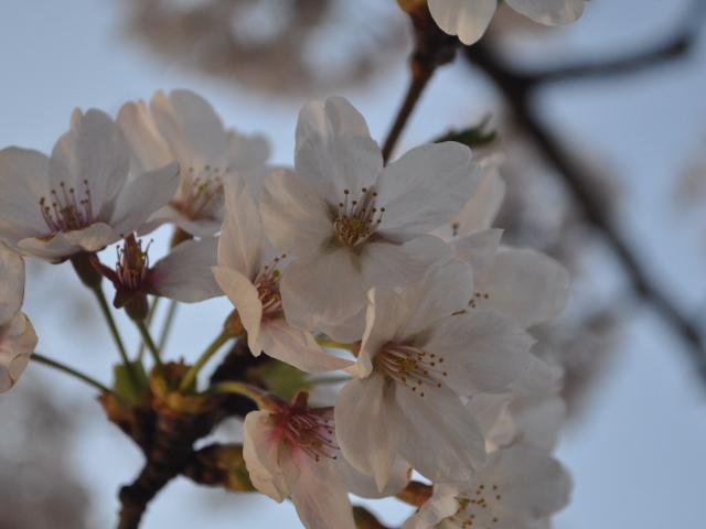 花見散歩15