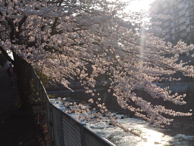 花見散歩17