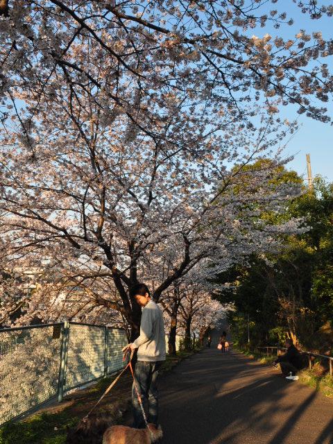 花見散歩18