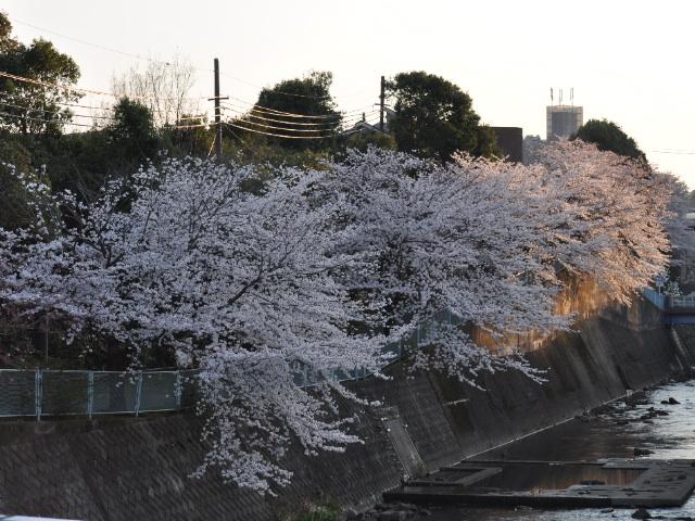 花見散歩23
