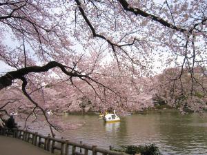 sakura,kichijyoji