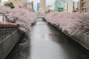 sakura,meguro