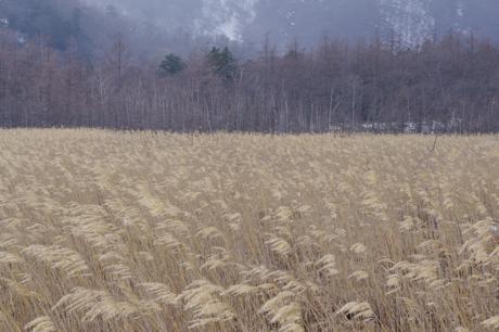 戦場ヶ原の葦