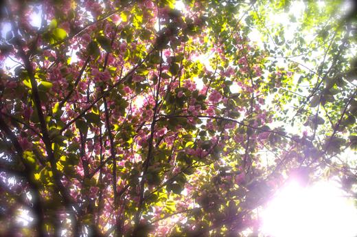 八重桜木漏れ日