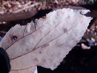 エゾエノキの葉