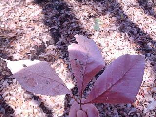 タカノツメの葉