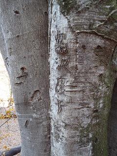 クロブナの木