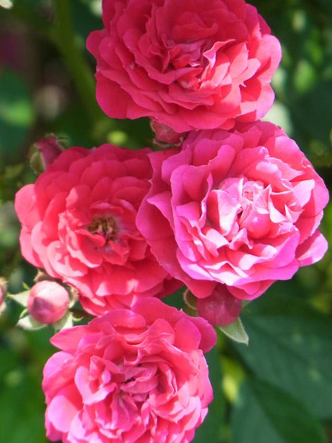 小さなバラの花2