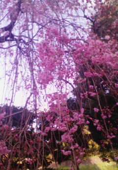 半蔵門しだれ桜