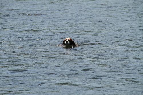 泳ぐチャコ