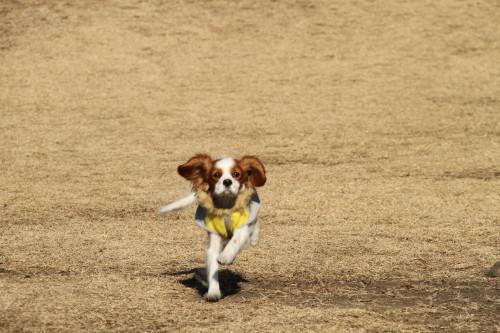 チャコ、走る