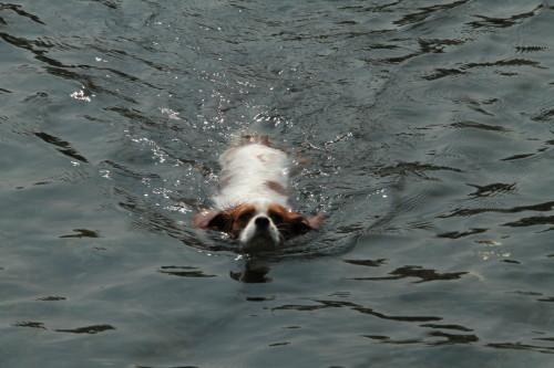 泳いでるチャコ