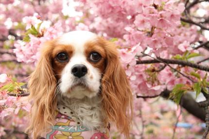 チャコと河津桜