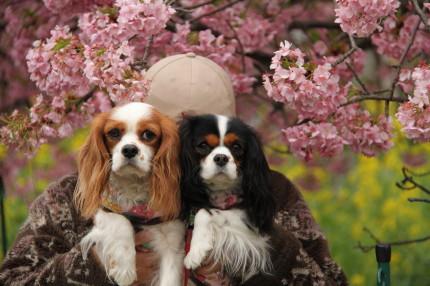 チャコ&エリーと河津桜