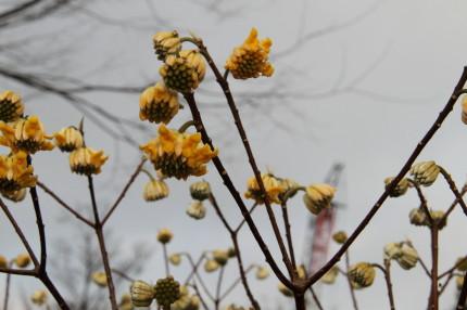 みつまたの花