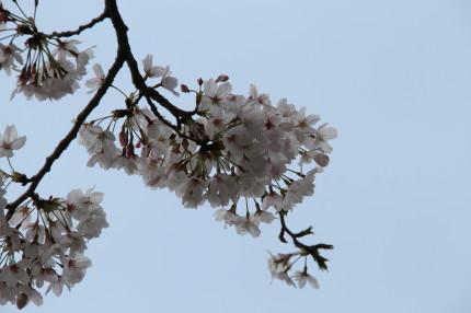 桜も満開で綺麗