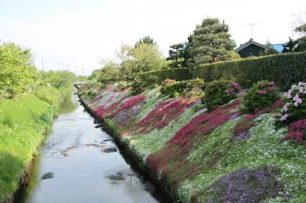 渋田川と芝桜