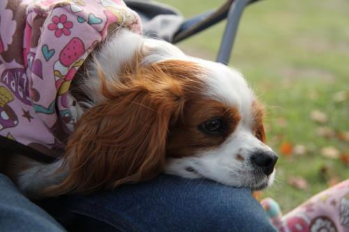 チャコパパの膝の上で寝ているチャコ