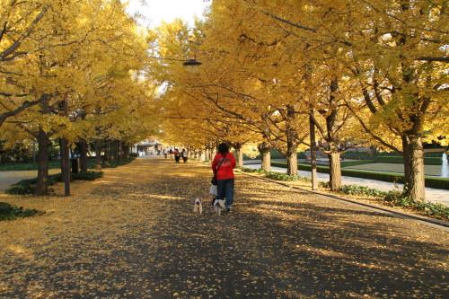 銀杏並木を歩く私とチャコ&エリー