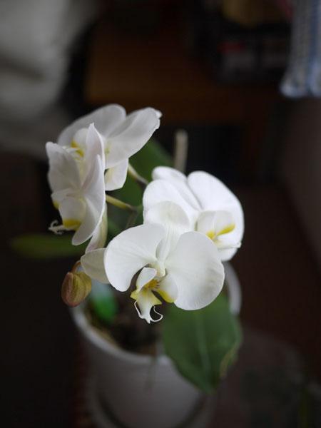 20120507胡蝶蘭
