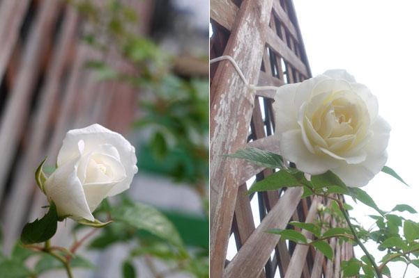 20120507バラ