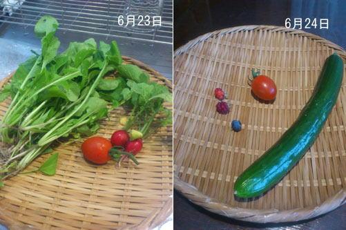 20120623-24収穫-1