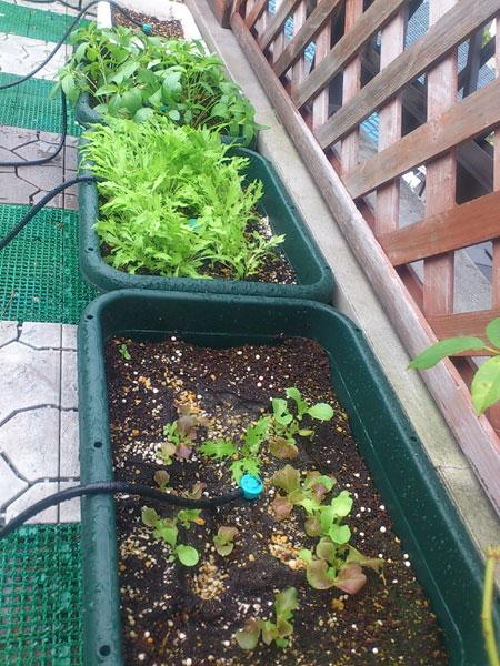 20120806葉野菜