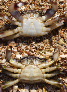 Crab_MaleFemale
