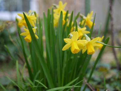 黄色の水仙