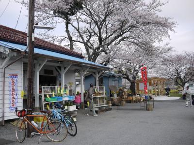 桜の小湊9
