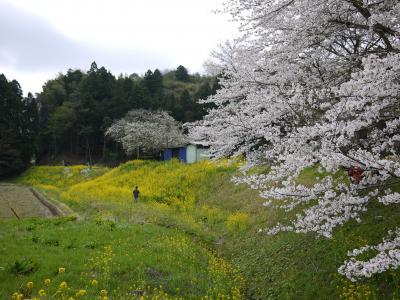 桜の小湊13