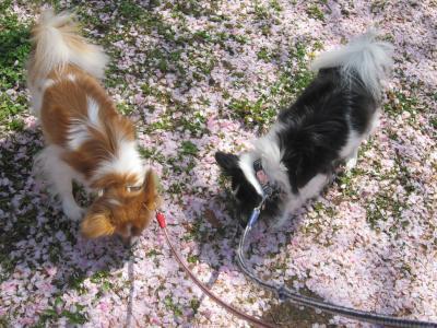 チコバジ桜