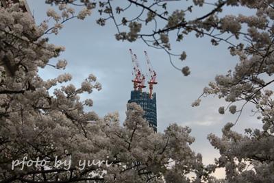 桜に囲まれたツリー
