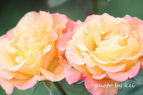 オレンジのバラ