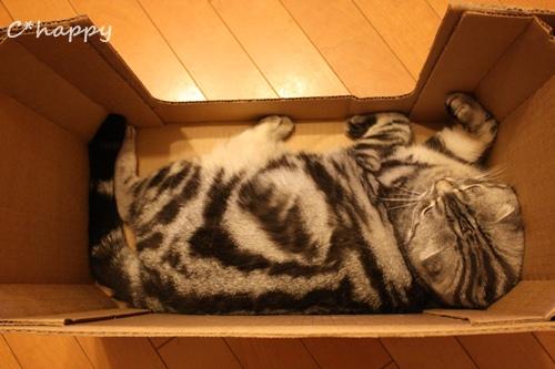段ボール猫