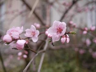 桃の花-110406