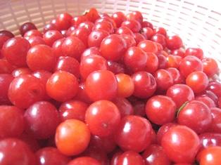 20110604山桜桃梅収穫