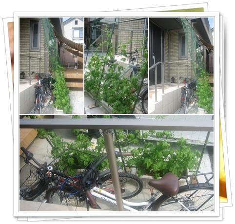 2012緑のカーテン_6