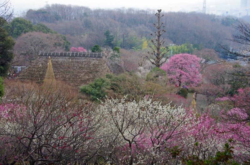 京王百草園梅まつり