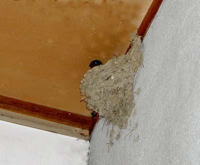 ツバメの巣ニューフェイス