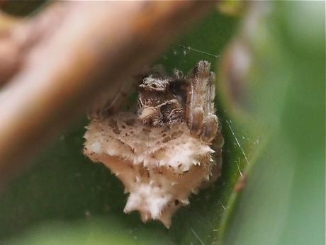 ムツトゲイセキグモ