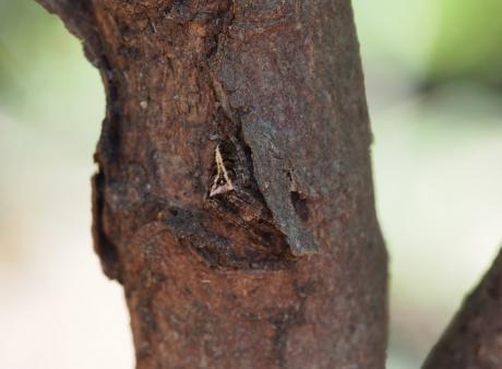 サガオニグモ