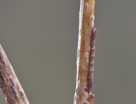 ヒロバツバメアオシャク幼虫か2