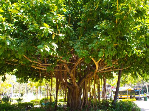 この木なんのき